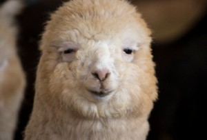 Alpaca Huacaya Close-up
