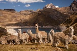 Alpaca (Lama pacos) group above Laguna Viconga, Cordillera Huayhuash, Andes, Peru