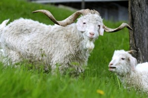 France, Haut Rhin, Wasserburg, The Chevrotiere, farming and tailoring fabrics or knit mohair, Angora Goat, mother and young, grazing, spring