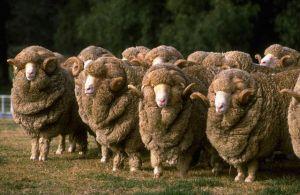 Flock of Merino Rams