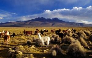 Escudero Patrick photo. Alpakos, Bolivia, Oruro Department,  Sajama nacionalinis parkas